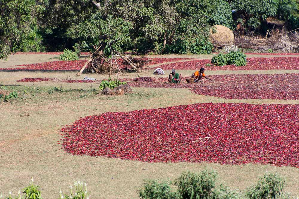 Passing chillis drying in fields