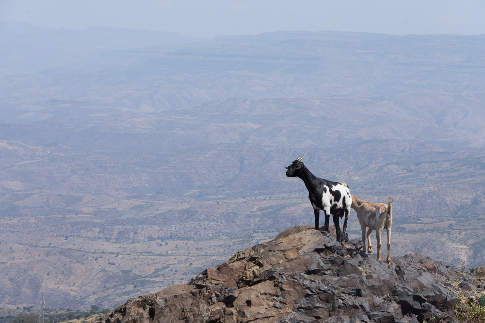 Mountain goats peer into the abyss of the Blue Nile Gorge
