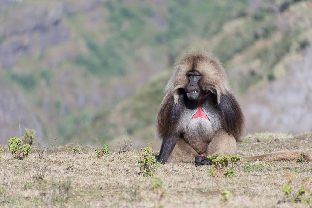 Gelada monkeys grazed on the hillsides