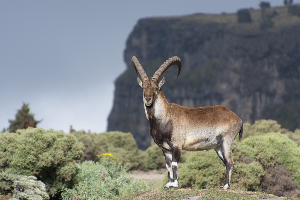 An ibex stands proud against the Simien mountains in Ethiopia