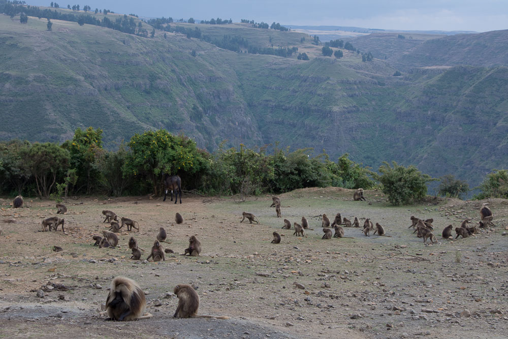 Gelada monkeys roam the hillsides