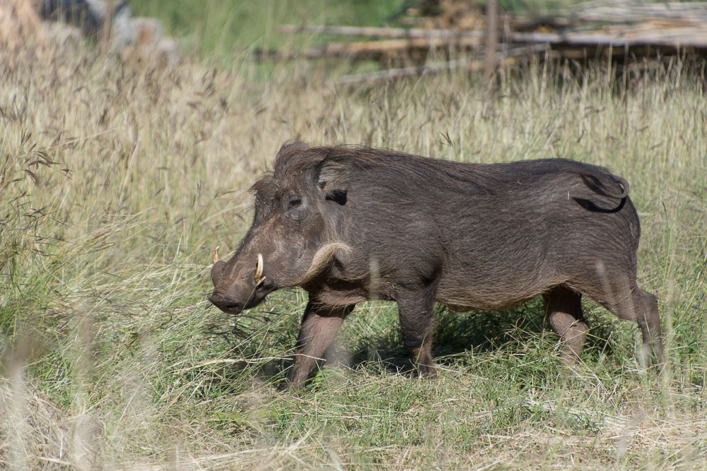 Warthog roamed the hotel's gardens