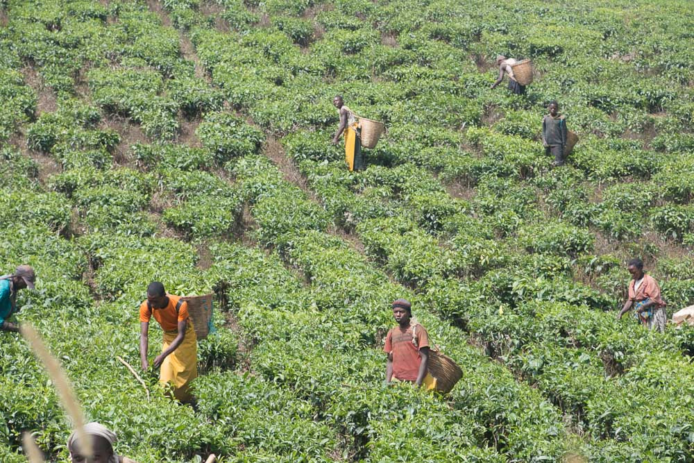 Tea pickers hard at work