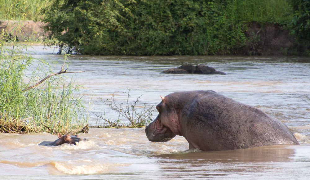 Cycling Katavi National Park - hippos