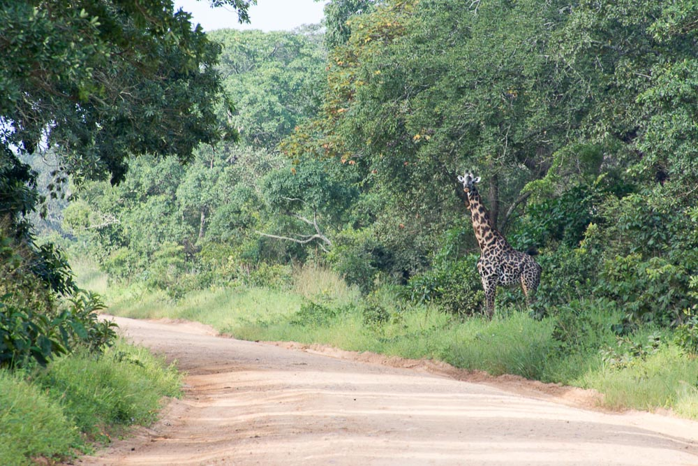 Cycling Katavi National Park - giraffe
