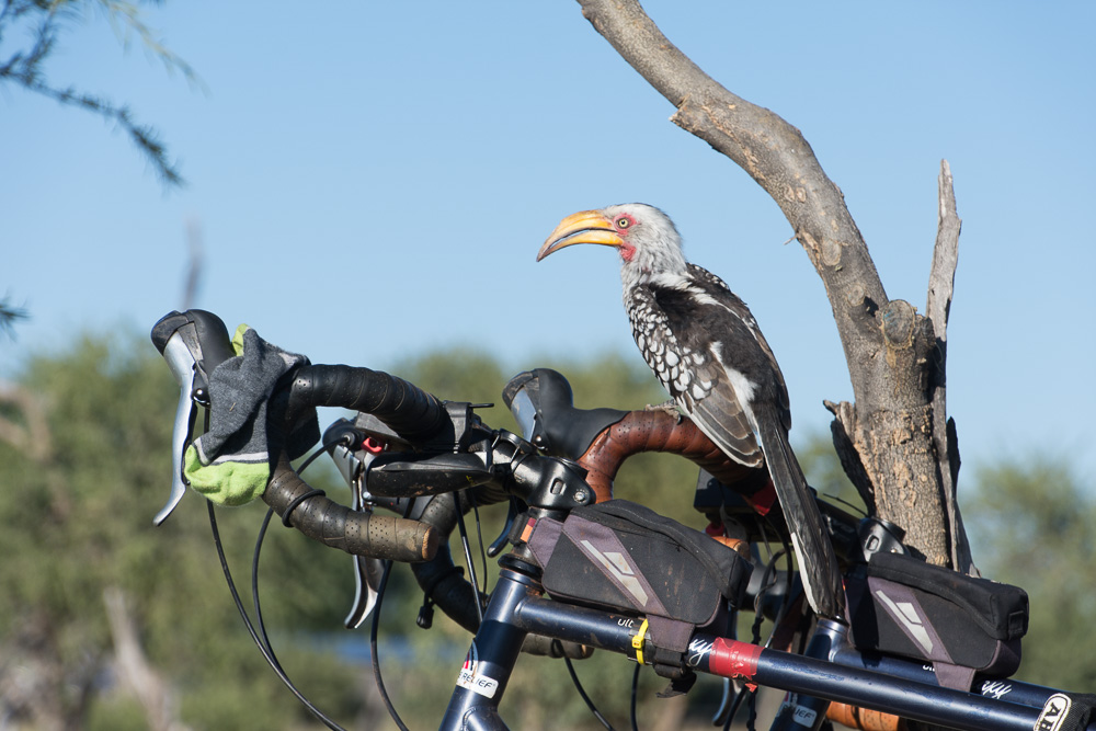 A cheeky hornbill perched on our bikes as we breakfasted at Elephant Sands