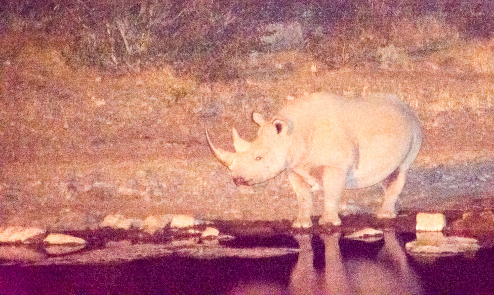 A black rhino takes a drink under the cover of darkness