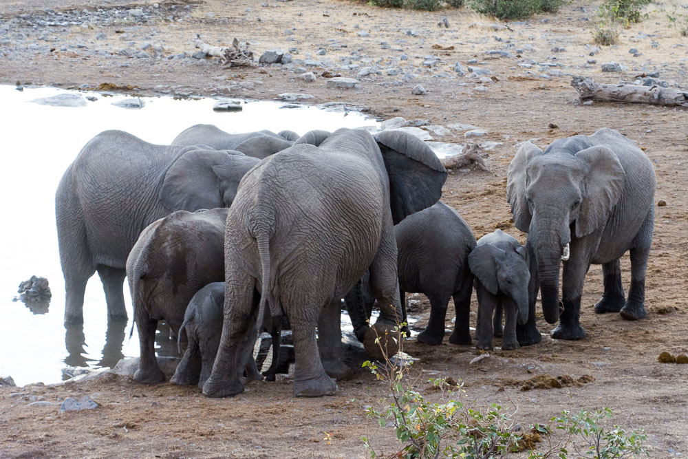 A family of elephants take a drink at the waterhole